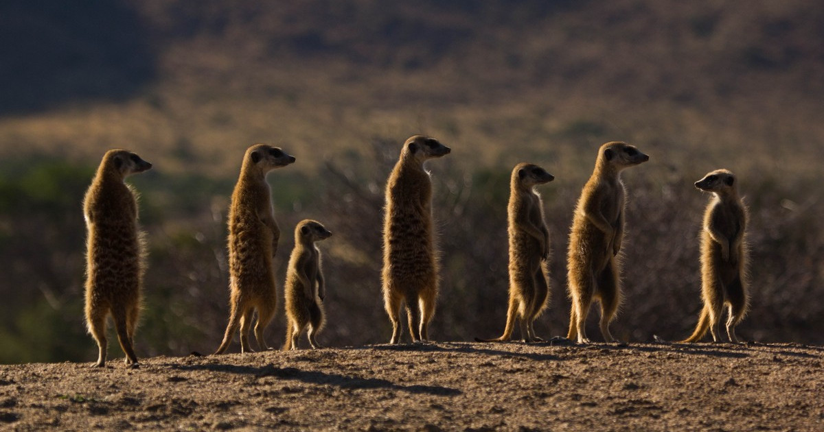 Meerkats waiting for notifications